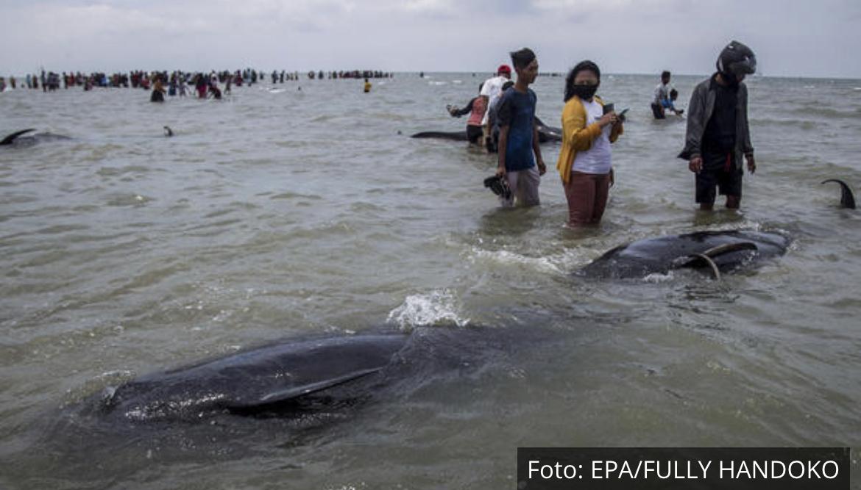 TUŽNI PRIZORI NA INDONEŽANSKOM OSTRVU: Nasukalo se 45 kitova, samo 3 preživela (FOTO)