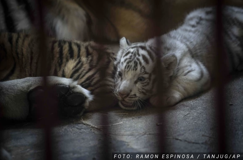 Na Kubi rođeno mladunče BELOG TIGRA: Nekada su hiljade ovih životinja lutale šumama, a sada su ugrožena vrsta (FOTO)