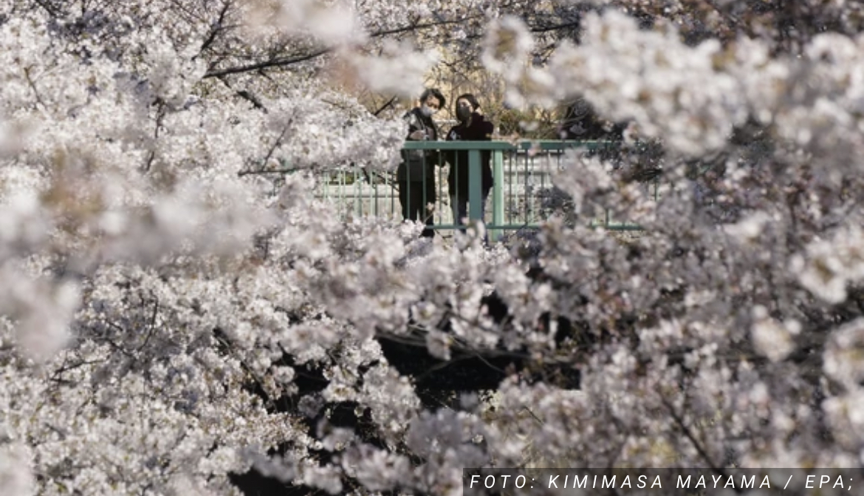 Trešnje u Japanu nikad nisu ovako rano PROCVETALE, cvetovi došli i otišli preko noći, a razlog je zabrinjavajući (FOTO, VIDEO)