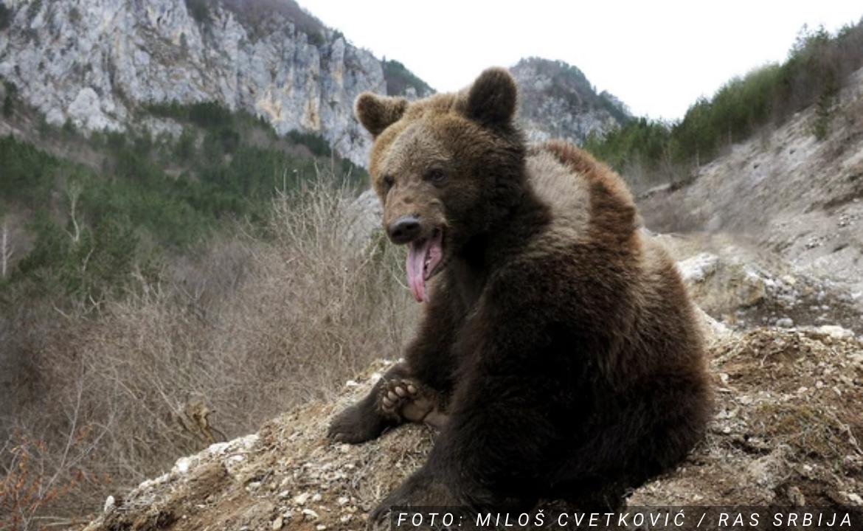 Medved RASTRGAO Amerikanku dok se šetala u Koloradu, medvedica i dva mladunca stara godinu dana USMRĆENA eutanazijom