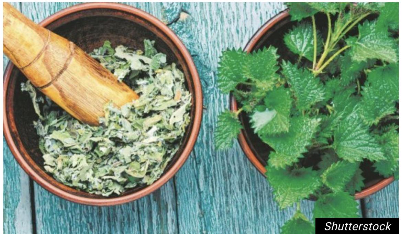 Ova biljka ŽARI, ali i OBARA PRITISAK, olakšava probavu i REGULIŠE ŠEĆER! Napravite ČAJ ili zeleni SMUTI! /RECEPT/