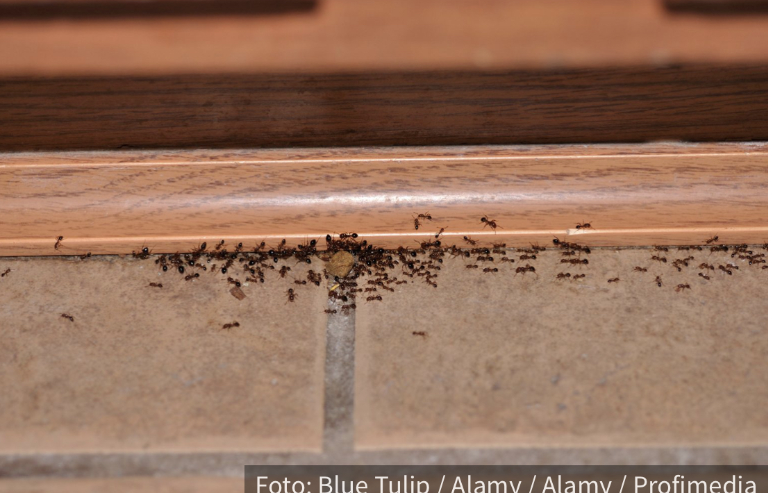 Kako se rešiti mrava u kući na prirodan način?